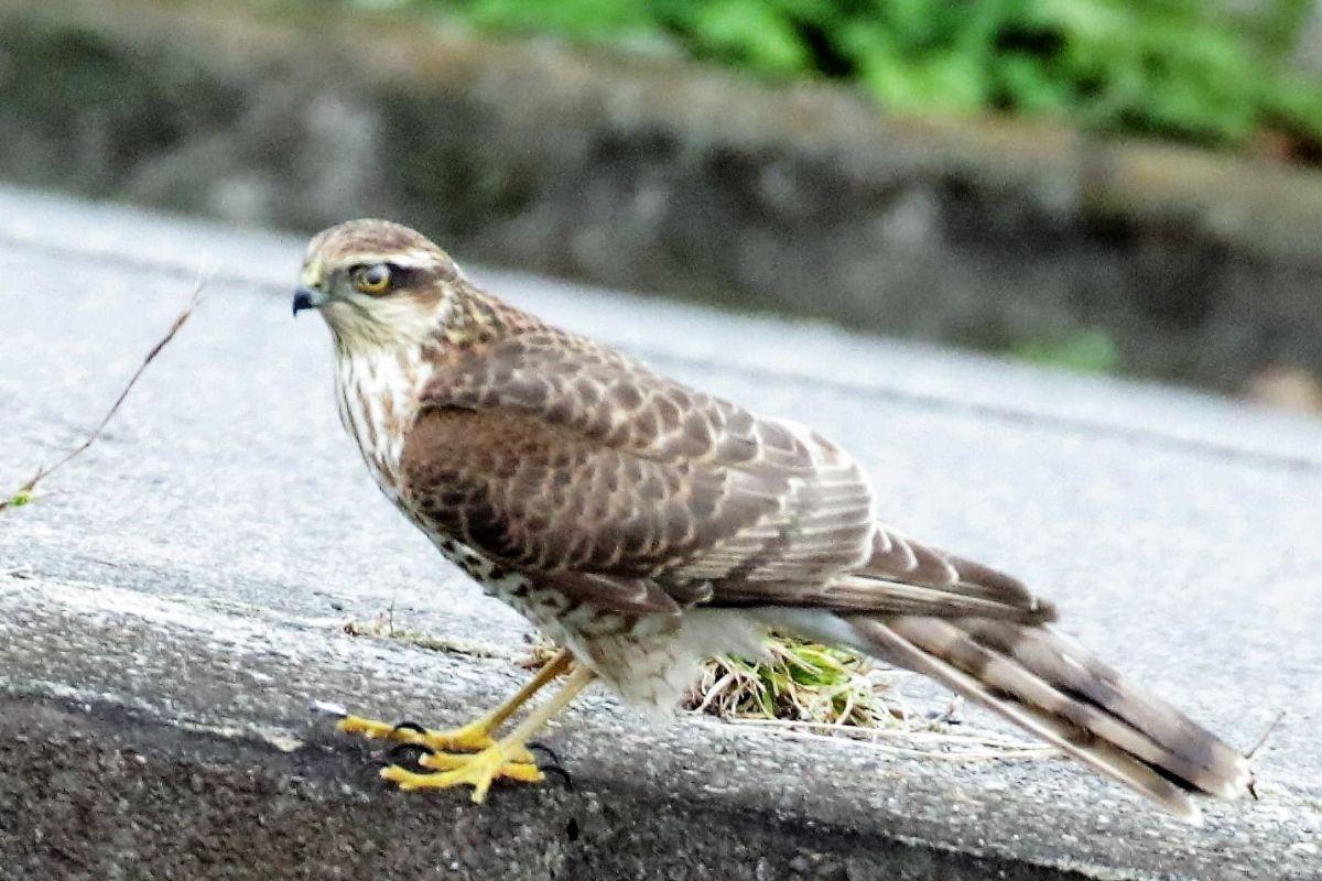 野鳥観察行動(猛禽類)名前は   動物 > 鳥類   GANREF