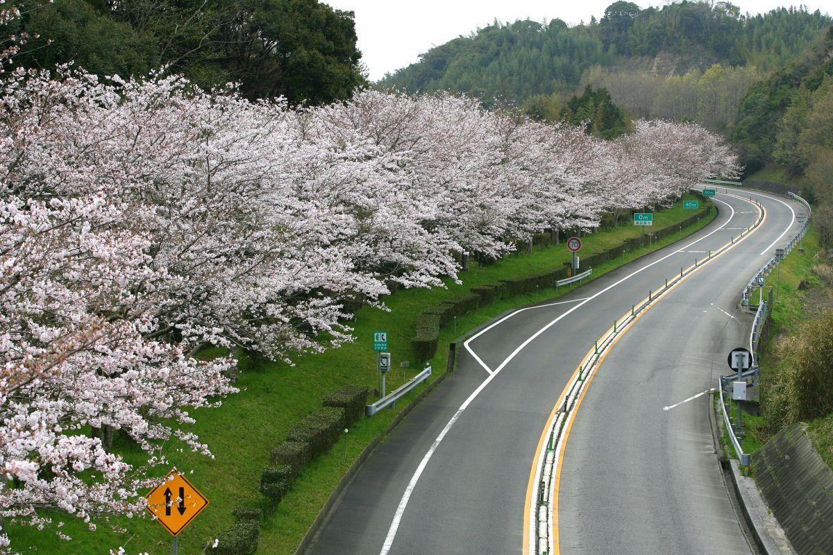 大分空港道路サクララスト | 植物 > 桜 | GANREF