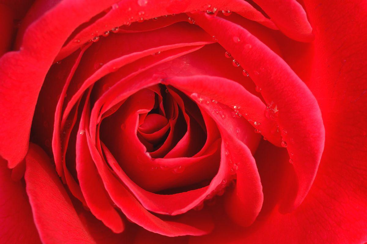 真っ赤な薔薇 | 植物 > 花・花びら | GANREF