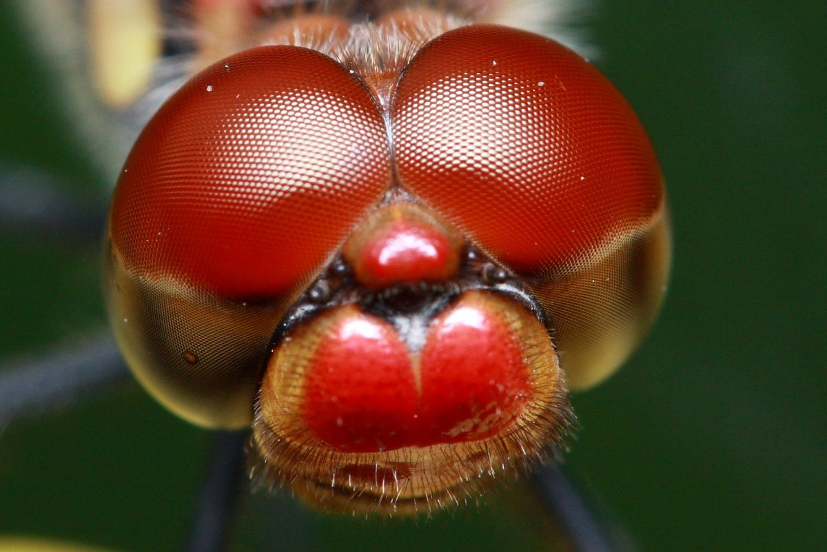 複眼   動物 > 虫・昆虫   GANREF
