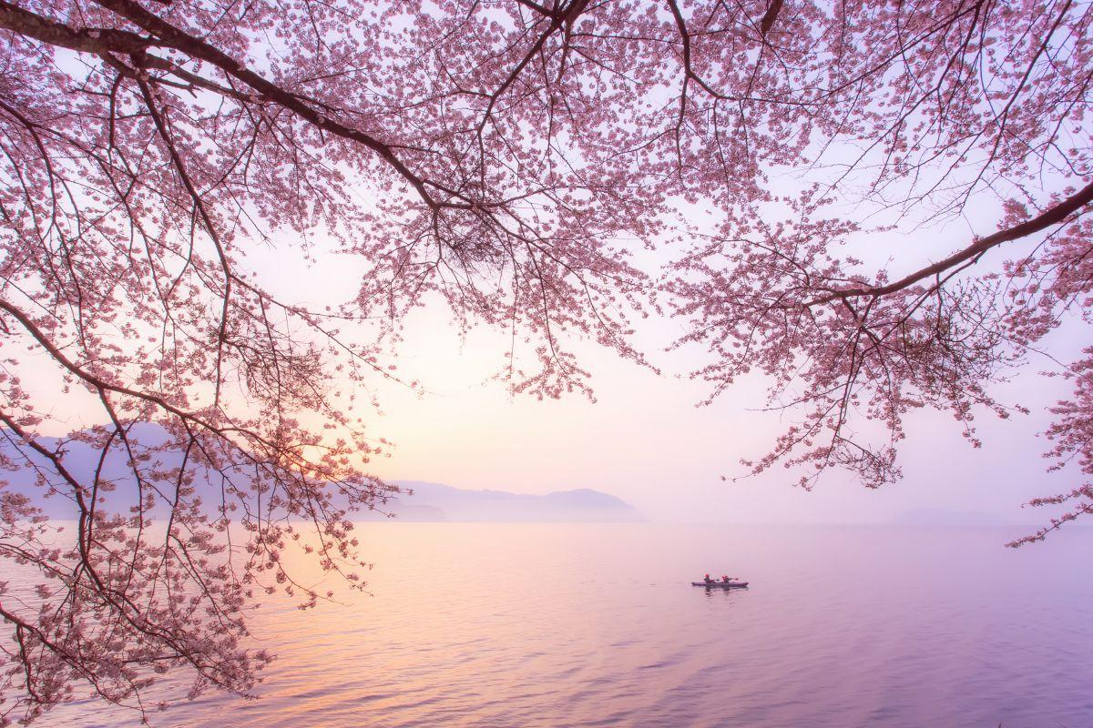 春霞の中で | 植物 > 桜 | GANREF