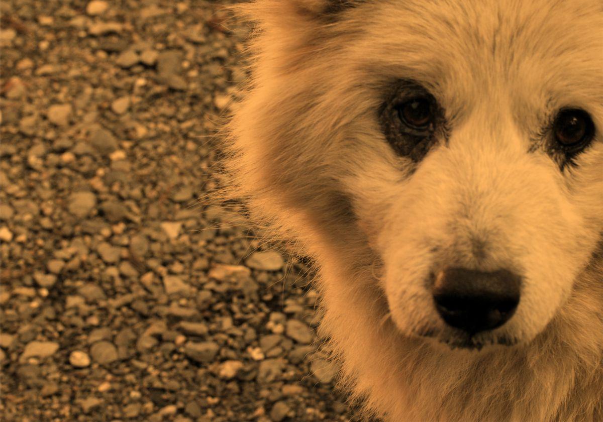 物欲しげ | 動物 > 犬 | GANREF