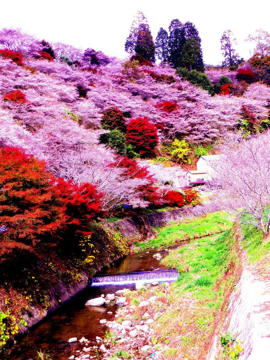 四季 桜 の 小原
