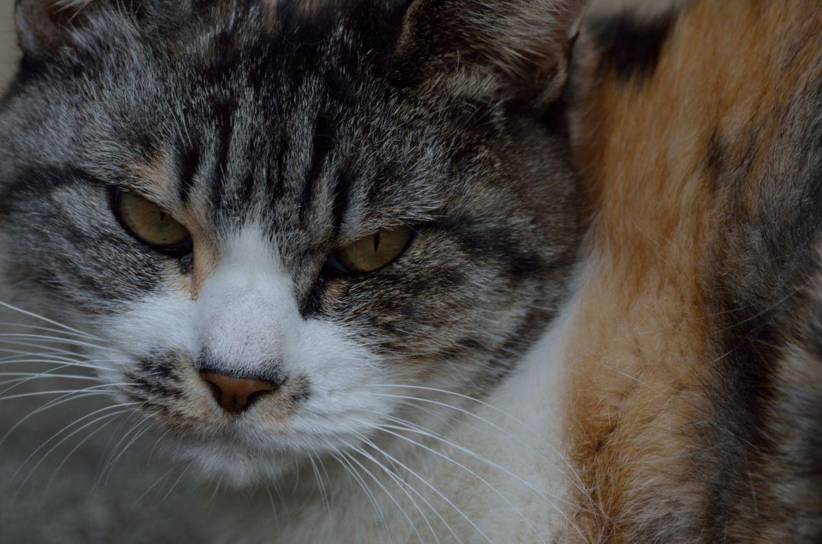 鋭い眼光 | 動物 > 猫 | GANREF