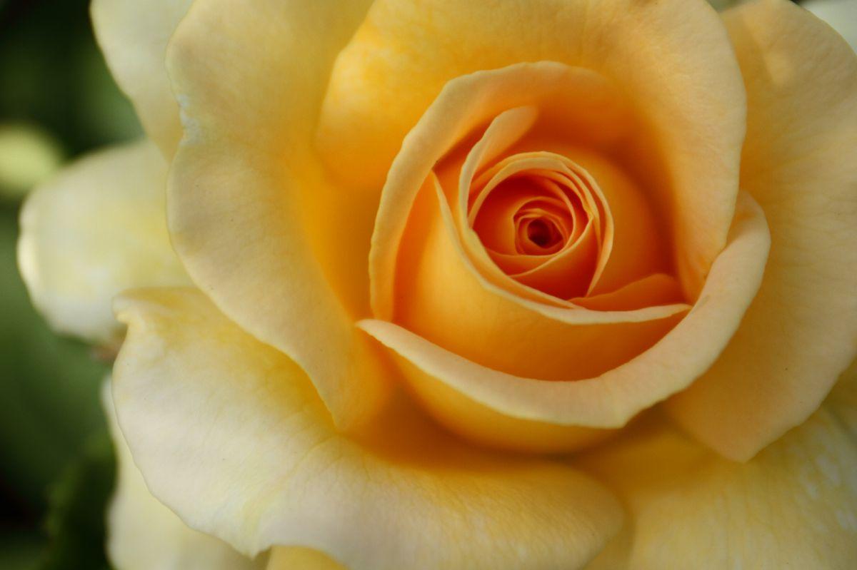 黄薔薇 植物 花 花びら Ganref