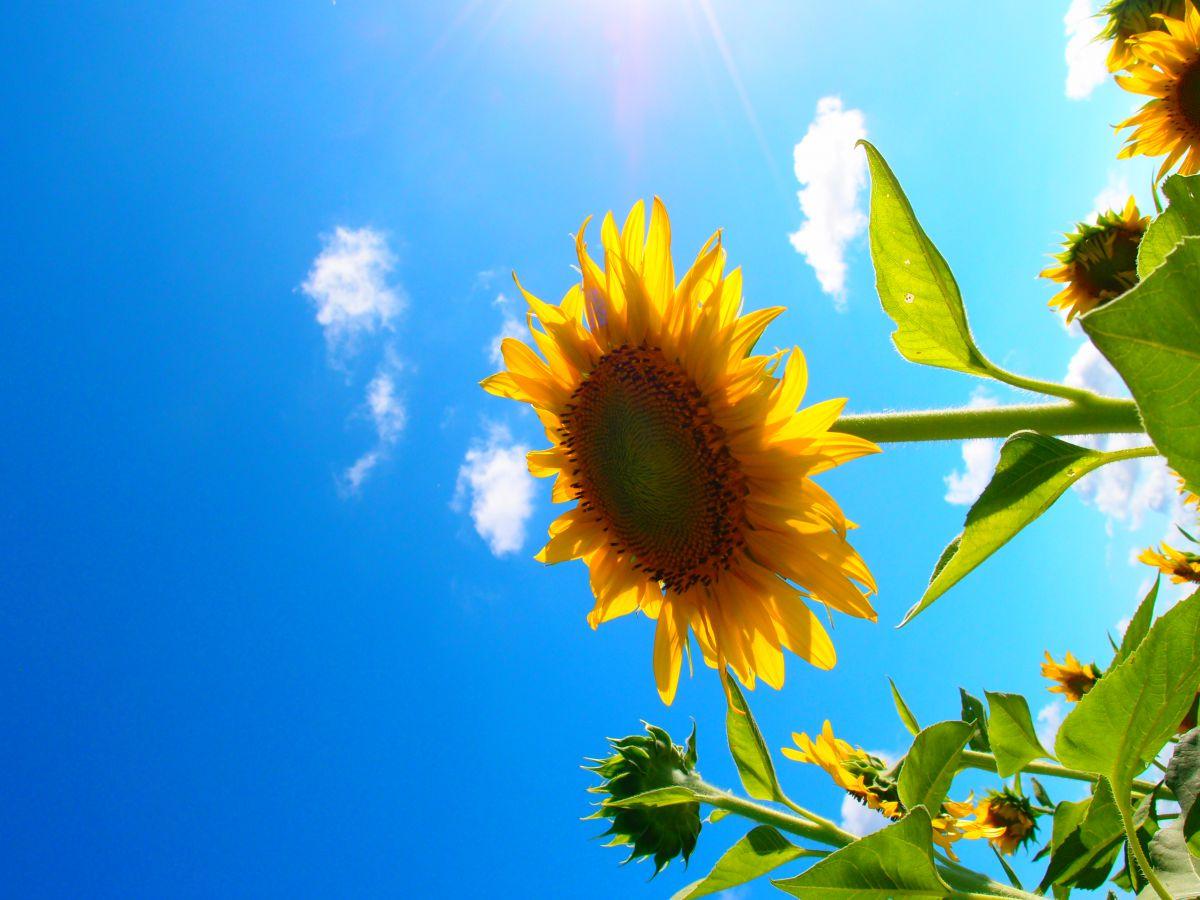 ポップなひまわり | 植物 > 花・花びら | GANREF