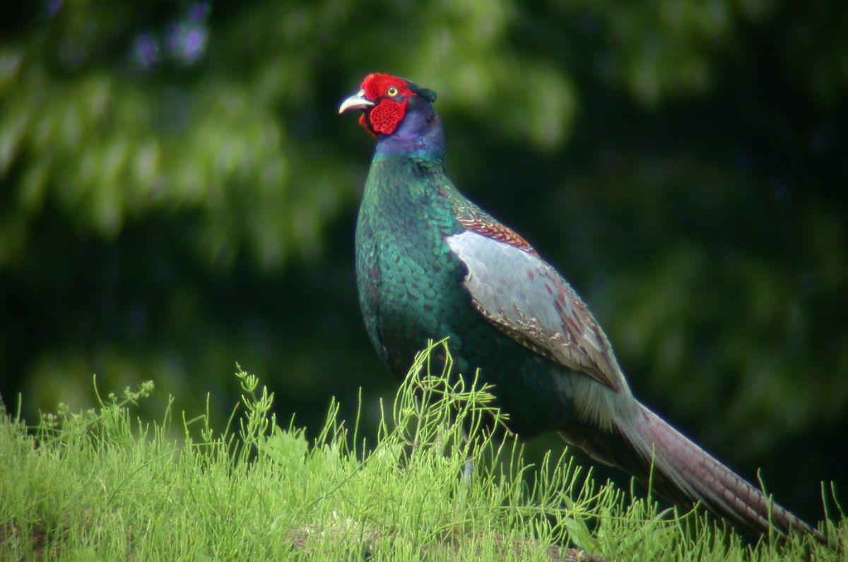 日本の国鳥   動物 > 鳥類   GANREF