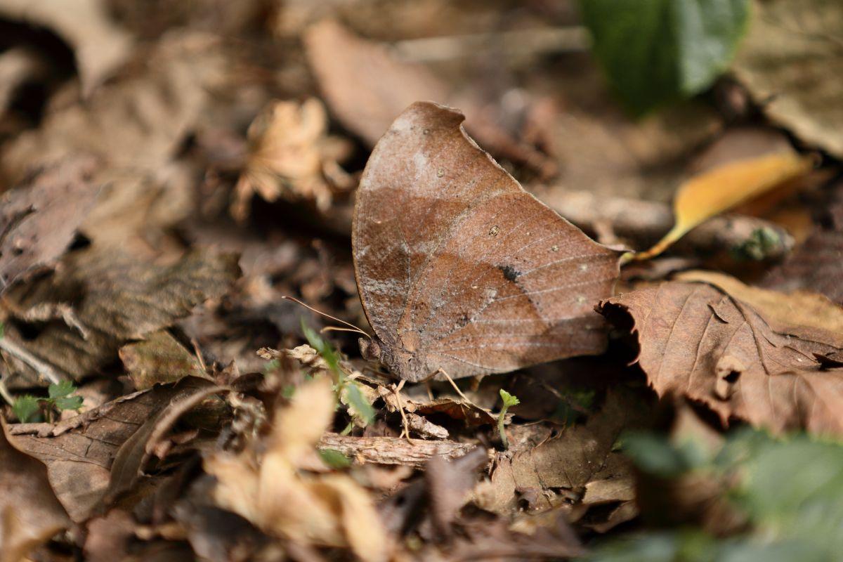森の忍者 - ウスイロコノマチョウ(秋型♀)   動物 > 虫・昆虫   GANREF