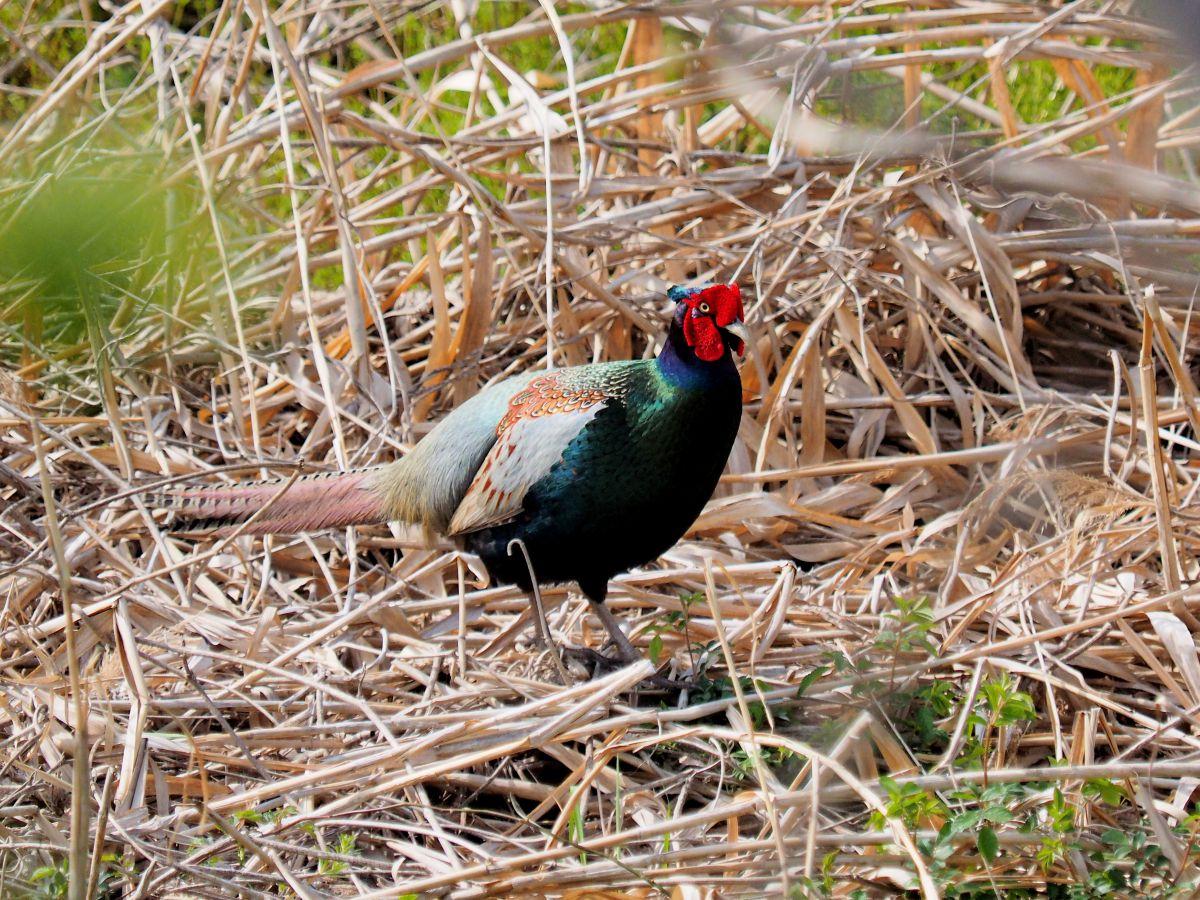日本の国鳥 キジ   動物 > 鳥類   GANREF