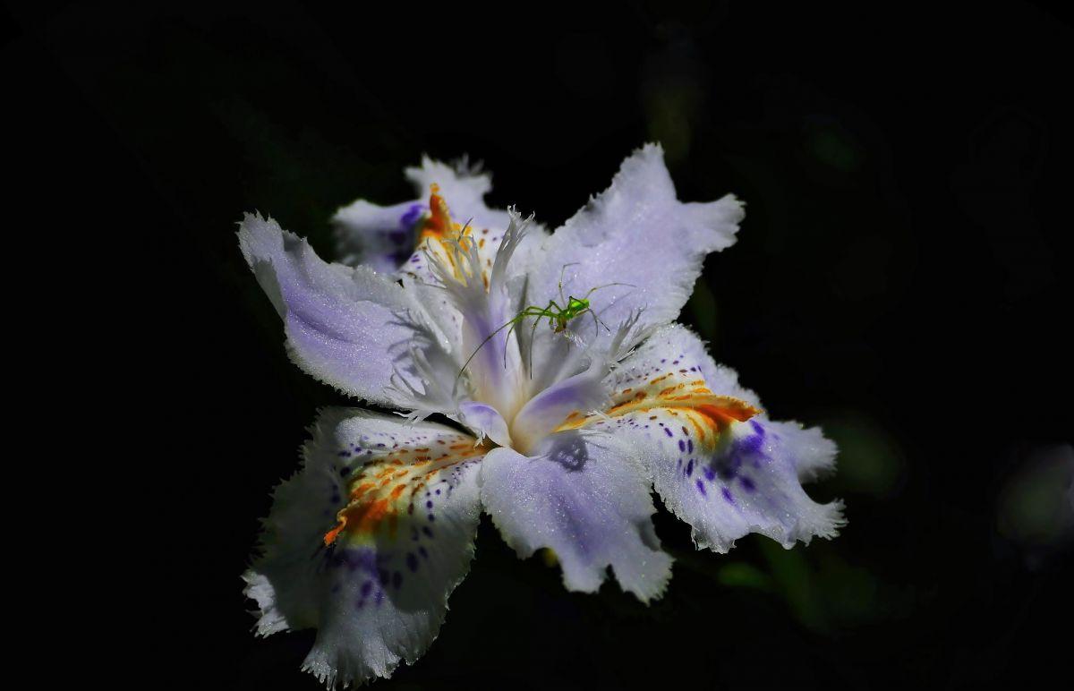 花蜘蛛華. | 植物 > 樹木 | GANREF