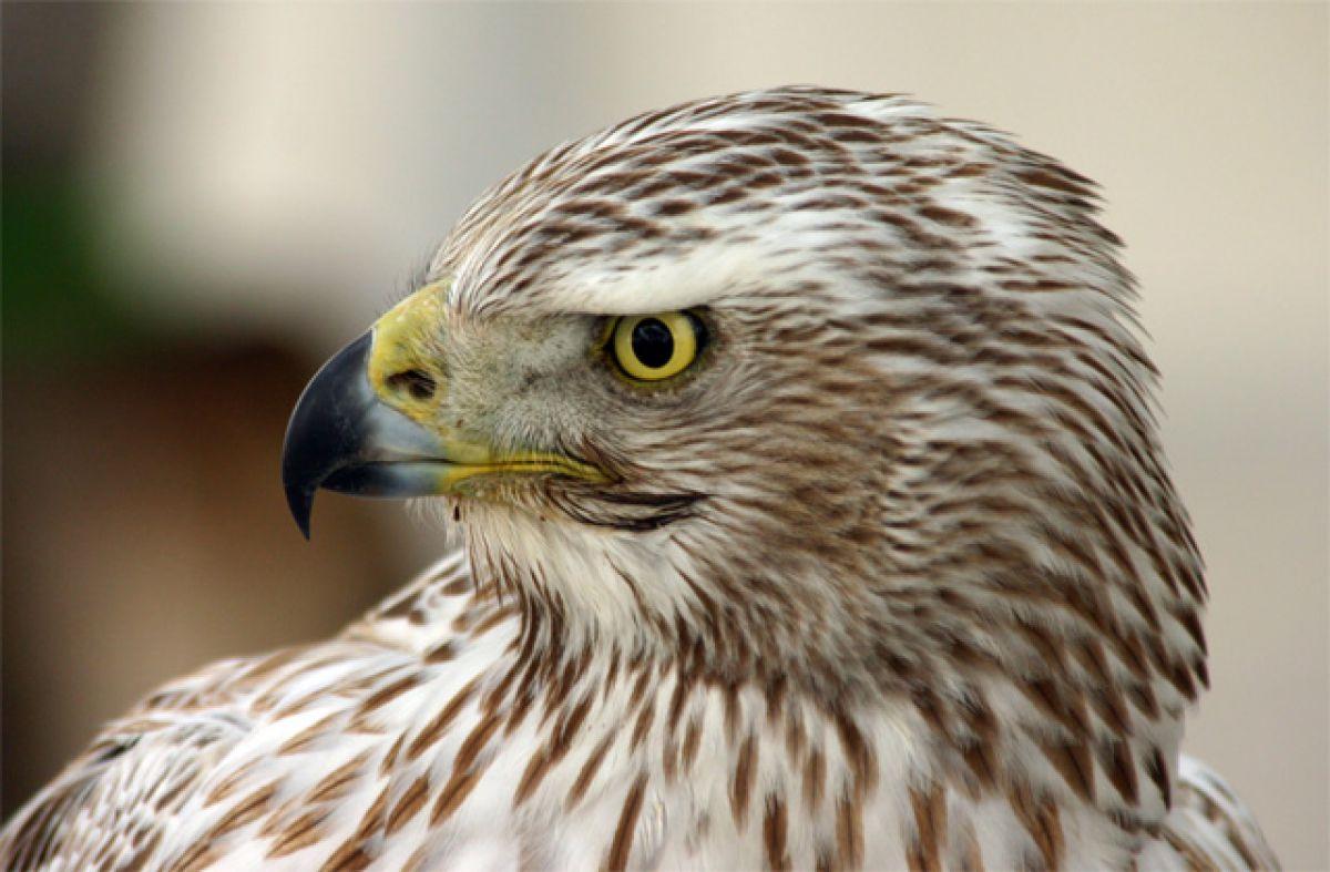 鋭い眼光 | 動物 > 鳥類 | GANREF