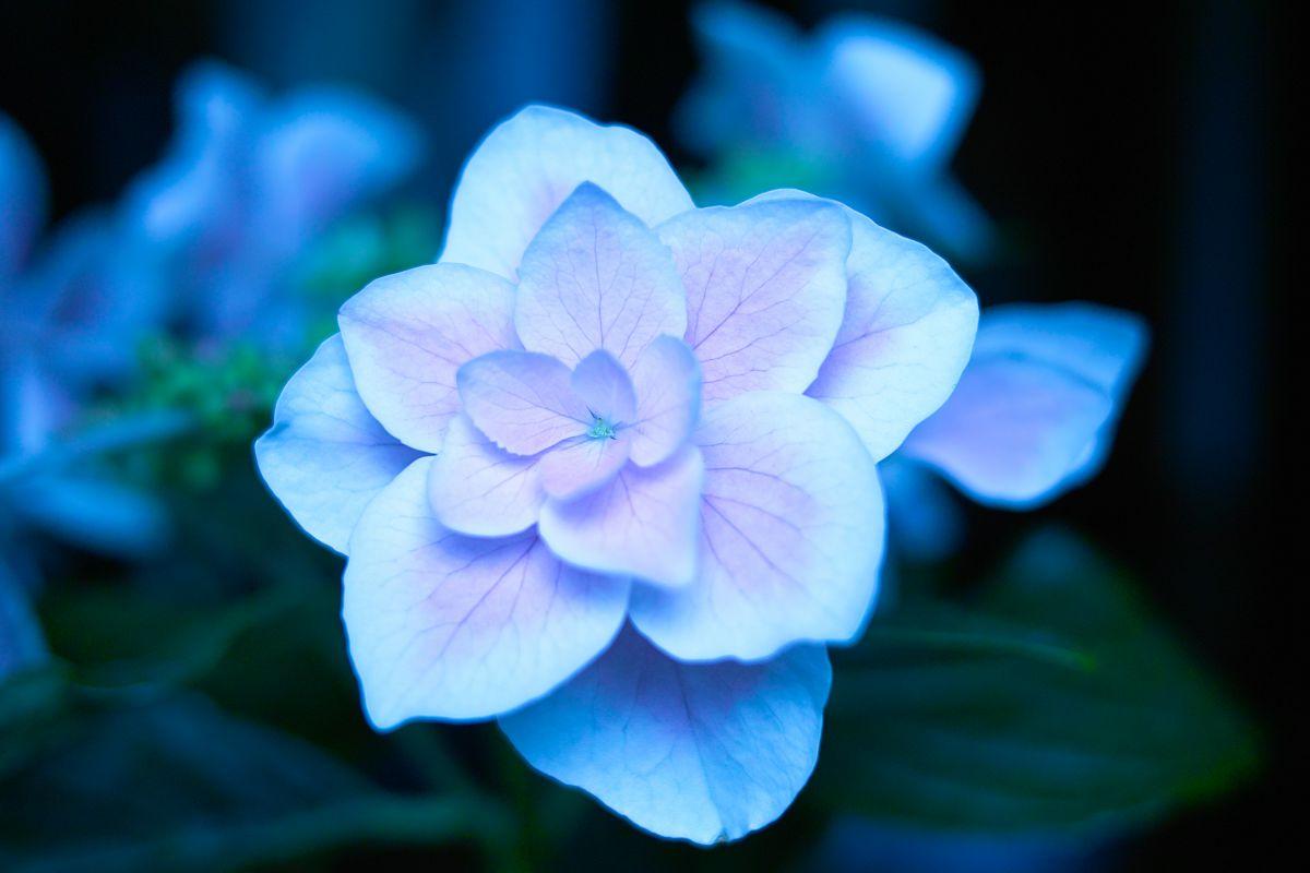 コンペイトウの花言葉は?   植物 > 花・花びら   GANREF