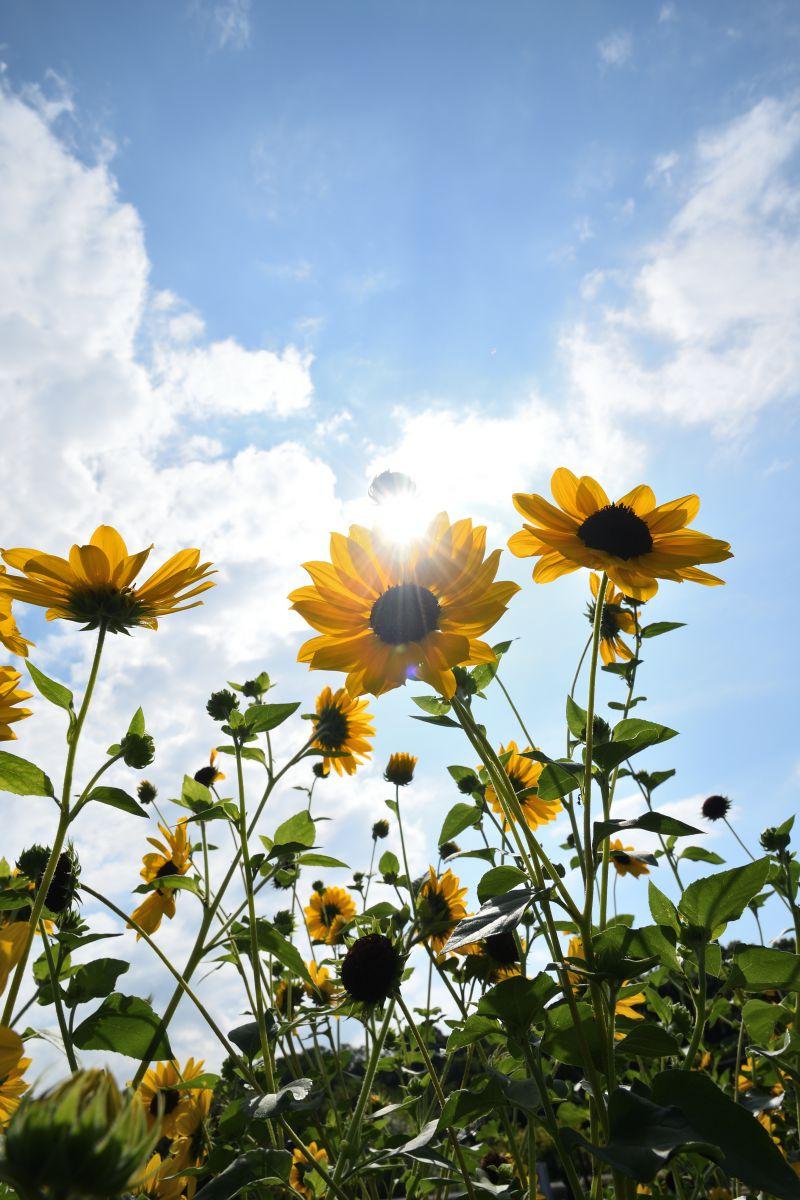 小さな向日葵 | 植物 > 花・花びら | GANREF