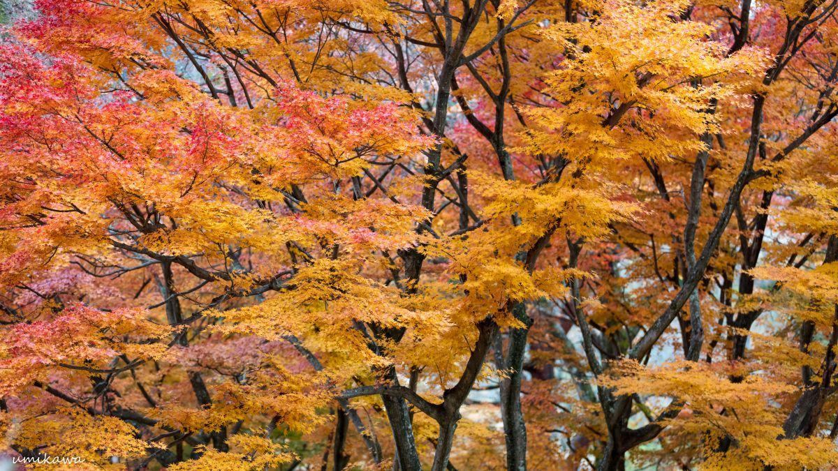 秋専用4k対応壁紙 植物 紅葉 Ganref