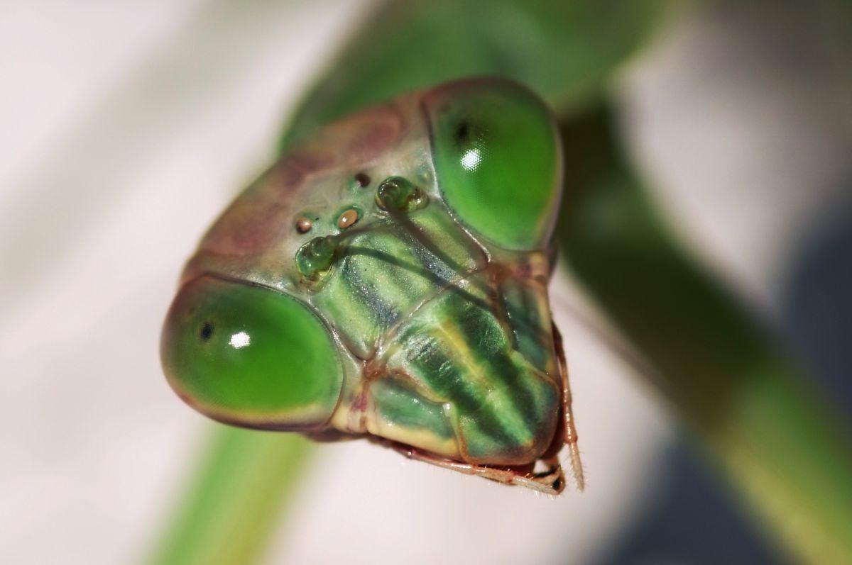 緑の複眼 | 動物 > 虫・昆虫 | GANREF