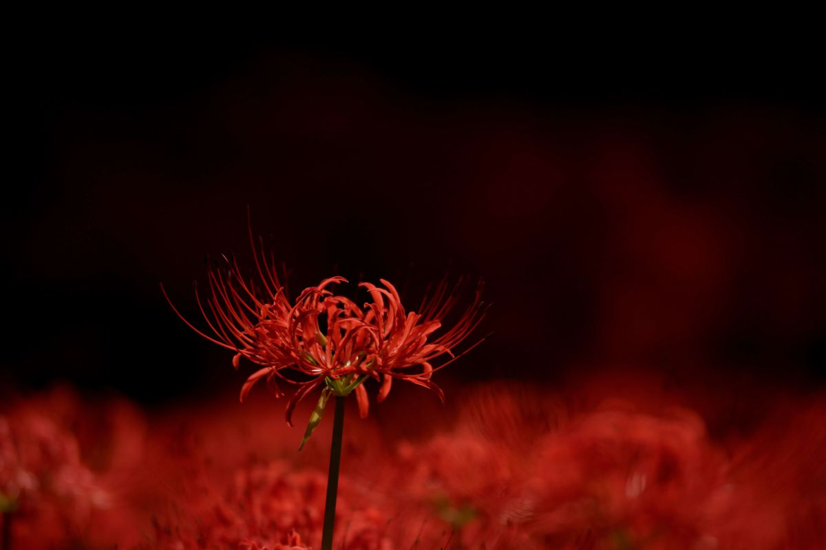 赤い魂 | 植物 > 花・花びら | GANREF